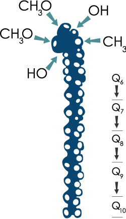 Q10 molecule with a Quinone-head and a side chain of 10 isoprenoid units