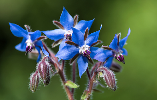 A photo of the Borage plant